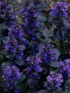 A traditional medicinal plant with mild properties, bugle is now more commonly grown for the bees and as a colorful ground cover plant. It is easy to propagate and will grow well in shade, but ajuga is not a herb that tolerates drought.