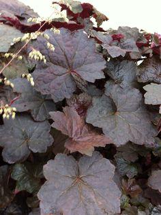Heuchera micrantha 'Palace Purple' Plant