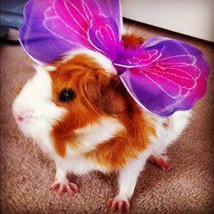 Bildergebnis für flying guinea pig