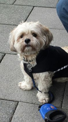 Lhasa apso wearing his cape