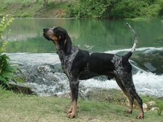 Bluetick Coonhound USA 45 to 80 pounds 21 to 27 inches 11 to 12 years English Coonhound, Bluetick Coonhound, Hound Breeds, Hound Dog, Pet Dogs, Dogs And Puppies, Pets, Dog List, Golden Retriever