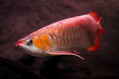 Red Arowana by Goldon Molling - Photo 119095889 - 500px