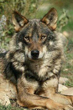 Bozkurt,Wolf,Greywolf