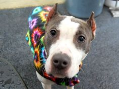 SAFE --- Manhattan Center   SPOTIFY - A1022193  FEMALE, WHITE / BLUE, AM PIT BULL TER MIX, 2 yrs STRAY - STRAY WAIT, NO HOLD Reason STRAY  Intake condition EXAM REQ Intake Date 12/02/2014, From NY 10451, DueOut Date 12/05/2014,   https://www.facebook.com/photo.php?fbid=918224921523721