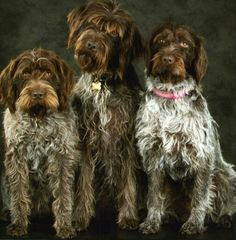 German Wirehaired Pointer & Pups ~ Classic Look Wirehaired Pointing Griffon, German Wirehaired Pointer, Gsp Puppies, Pointer Puppies, I Love Dogs, Cute Dogs, Awesome Dogs, Terrier, Dog Runs