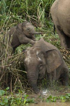 coupon Bornean elephant photo via the Houston Zoo. http://www.pinterest.com/TakeCouponss/houston-zoo-coupons/