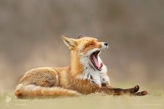 Lazy Fox is Lazy by Roeselien Raimond - Photo 206558859 / 500px