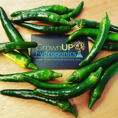 Turkish goat horn chillies. #hydroponics #Buckinghamshire #growyourown #chilli #spicy #hot