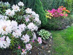 Różaneczniki w ogrodzie stanowią moim zdaniem obowiązkowy element aranżacji wiosennego ogrodu. Te przepiękne rośliny doskonale radzą sobie  naszym klimacie. Trzeba tylko spełnić kilka istotnych warunków aby zdrowo rosły i co roku zachwycały kwiatami.  #azalia#azalie#rododendron#rododendrony#różanecznik#różaneczniki#ogród#ogrodnictwo#rytmynatury#home#garden#gardening#kwiaty#kwiat#flower#flowers#krzewyozdobne#krzew#krzewy#azalea#ogródek