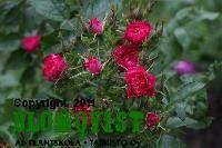 Rosa `F.J. Grootendorst´Nejlikros Plants, Flora, Plant