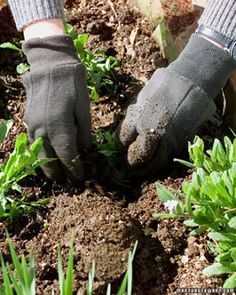 Garden Glossary - Martha Stewart- Root Ball...The mass of roots and soil exposed when a plant is slipped from its container or burlap covering or dug out of the ground for transplanting. Root bound is a term that is used when roots are densely tangled or coiled around the root ball; a condition often seen in plants grown too long in a small container.