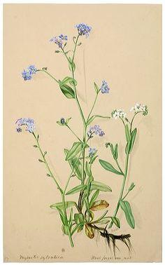 myosotis sylvatica botanical drawing - Google Search