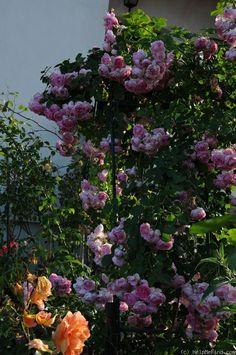 39 jasmina 39 rose photo rosen pinterest roses rose. Black Bedroom Furniture Sets. Home Design Ideas