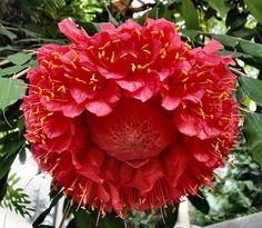 Brownea grandiceps in the Fabaceae!