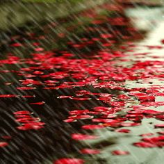 Red Petals in the Rain.