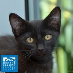 Adonis says black is the new black!  All black cats and kittens are FREE to adopt today and tomorrow!