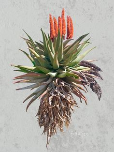 Aloe Karoo with orange flower. Photograph by Fran Jex Plant Illustration, Botanical Illustration, Botanical Drawings, Botanical Prints, Plant Painting, Painting & Drawing, Art Floral, Cactus, Africa Decor