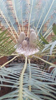 laevifolius male in cone August Dandelion, Flowers, Plants, Dandelions, Flora, Plant, Royal Icing Flowers, Flower, Florals