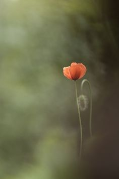 What is this, a poppy?
