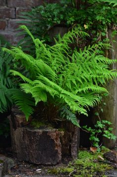 I also grow a number of ferns in shade; some planted in naturally hollowed out sections of tree trunk.