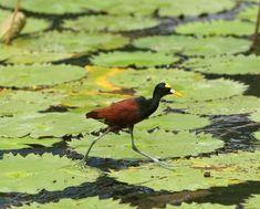 Northern Jacana, called Jesus Christ bird - walks on water - Belize
