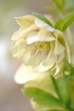 Hellebores delicate lovely flowers happy in semi shade