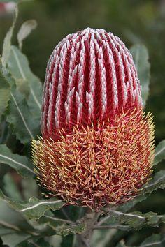 Australian Wildflowers, Australian Native Flowers, Australian Plants, Pretty Flowers, Wild Flowers, Alien Plants, Australian Native Garden, Flower Bird, Unusual Plants