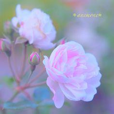 #flower #薔薇#バラ#rose