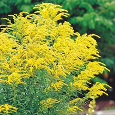 Goldenrod, Solidago rugosa- It's a tough, beautiful plant that looks good despite summer heat and drought. Note: Goldenrod isn't typically a source of allergies; this is a common misperception.