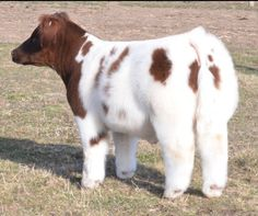 shorthorn show calves | Matt Lautner Cattle | News From The Road