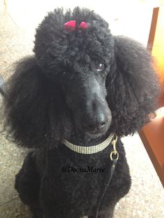 Cafe chic in my NY collar -Bella my standard poodle