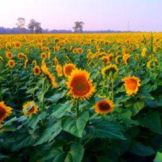 Sunflowers on the Farm, Yellow Springs, Ohio Beautiful Farm, Beautiful Flowers, Yellow Springs, My Roots, Down On The Farm, Sunflowers, Cincinnati, State Parks, Fields