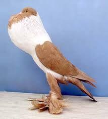 Resultado de imagem para pigeon breeds