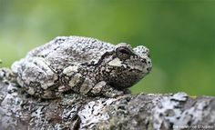 The Gray tree frog has some amazing camouflage! Learn more about how the SPCA for Monterey County helps wildlife at www.SPCAmc.org