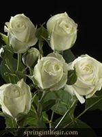 Over 100 Blooms of White Baby Roses