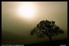 Picture/photo (Wild Scenics): Sun, fog and oak tree, San Joaquin Valley. Sky Photos, Fall Photos, Central California, Wow Image, San Joaquin Valley, Oak Tree, Picture Photo, Sunset
