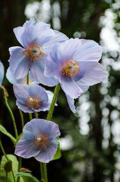 Himalayan Blue Poppies - by vhdragon2112