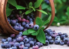 Want to go blueberry picking in Baton Rouge? All My Sons Baton Rouge has some great places to try out!