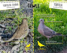 Tórtolita y tortola Birds Photos, Birdwatching, Pet Birds, Patagonia, Animals And Pets, Flora, Dads, Animal Science, Animals Images