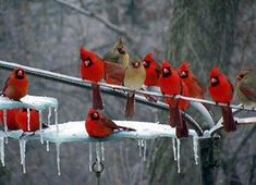 red birds on a branch