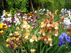 12 ezer tő írisz virágzik a kiskunmajsai Jonathermál kertjében Iris Garden, Hungary, Floral Wreath, Wreaths, Pretty, Flowers, Plants, Explore, Floral Crown