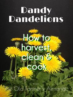 Discover the many uses of the common dandelion with The Old Farmer's Almanac!
