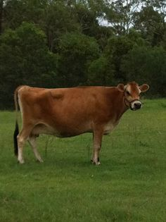 Our Jersey cow- aka Crazy cow as she loves to chase hubby out of the paddock ;)