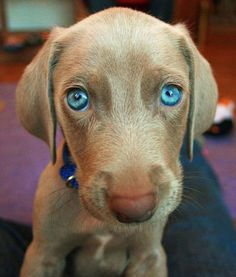 #Weimaraner #beautiful #puppies