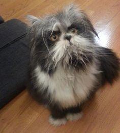 Meet Atchoum the Cat! He Has Perhaps the Furriest Face Ever! - Love ...