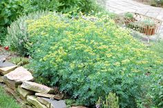 Rue: Deters aphids, fish moths, flea beetle, japanese beetle, snails, slugs, flies. Pair with roses, fruits, lavender. Has helped repel cats. Don't plant near cucumbers, cabbage, basil, or sage. Poisonous to humans.