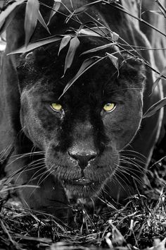 Magical Nature Tour magicalnaturetour: (via Black Jaguar Series by Colin Langford / 500px)