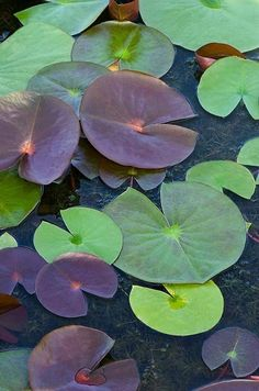 Memories of Bartlett Pond and my grandparents. Grandpa had a yellow, rubber dinghy that we'd bring to the pond. Excitedly, we'd row out and gently touch the lily pads. Water Nymphs, Pond Life, Lily Pond, Nature Plants, Arte Floral, Water Garden, Garden Pond, Botany, Flower Art