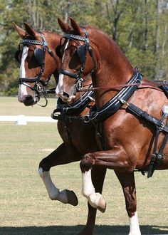 KWPN horse zaprzęg parokonny