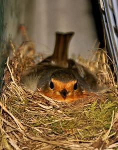 nid de rouge gorge